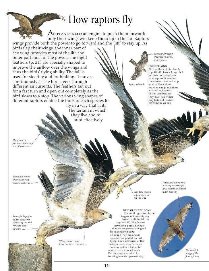 Anatomy Of Birds Prey Eagle | Animali | Pinterest