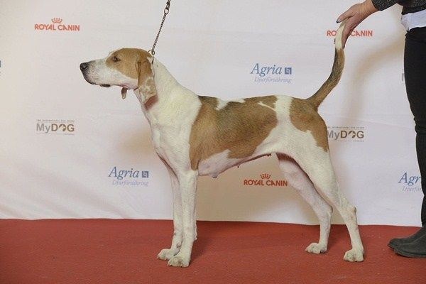 American Foxhound Breed Introduction A cousin of the English Foxhound, American Foxhounds, like English foxhounds, were originally bred to participate in foxhunts. The image that comes to mind when…