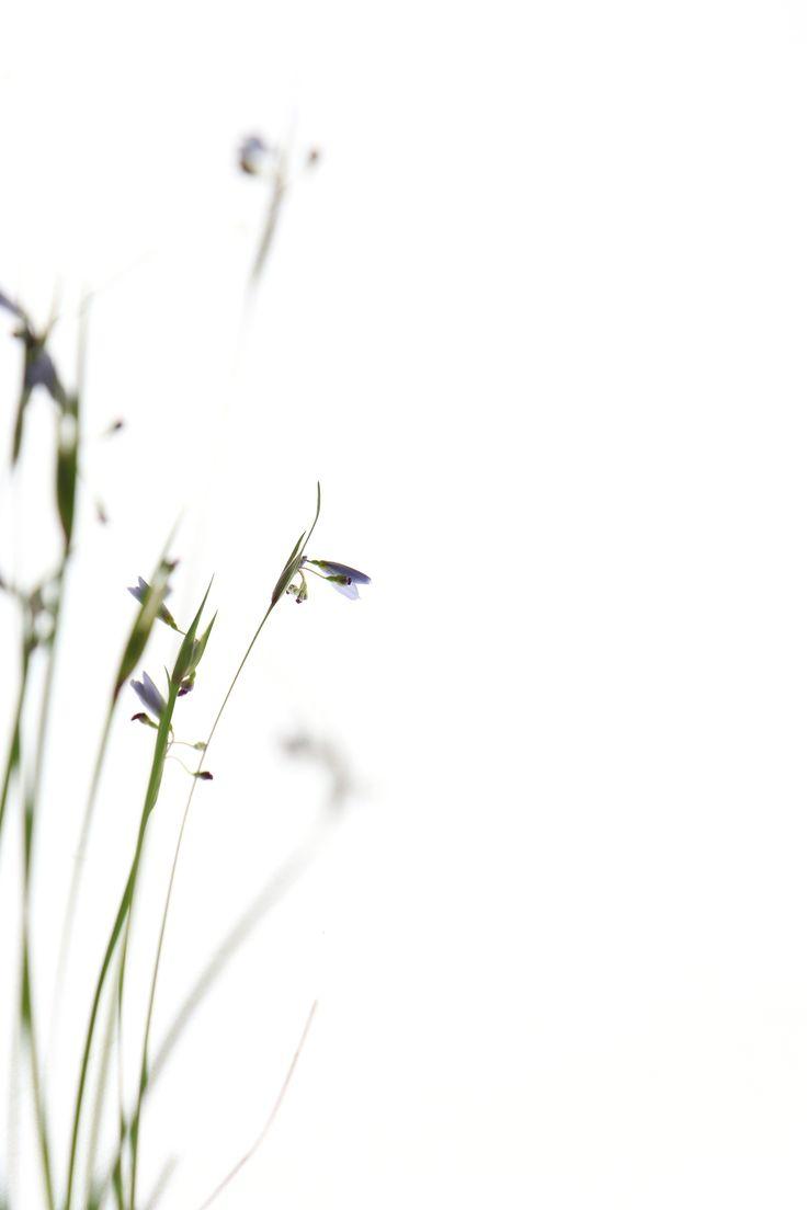 blue-eyed grass (mary jo hoffman)