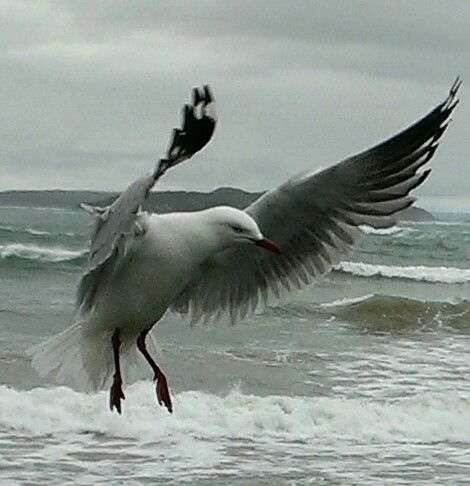 #Seagull #Beach #PointLonsdale