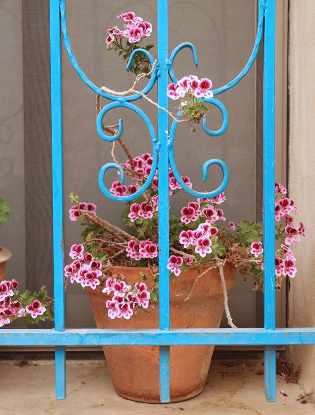 Geraniums with small blooms