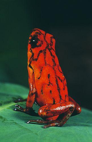 Arrow Poision Frog, Dendrobates histrionicus