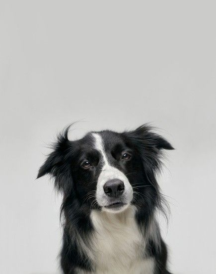 Love my sweet mixed baby doggies, but I sure do love border collies! I grew up with collies, and they're brilliant animals.
