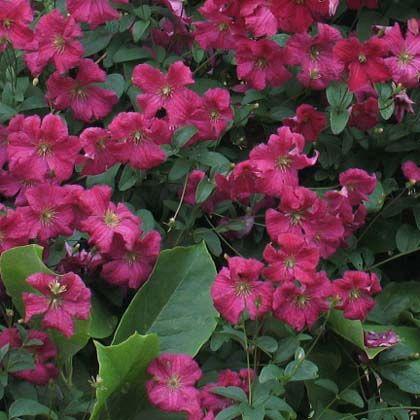 162 best images about gardens clematis on pinterest. Black Bedroom Furniture Sets. Home Design Ideas