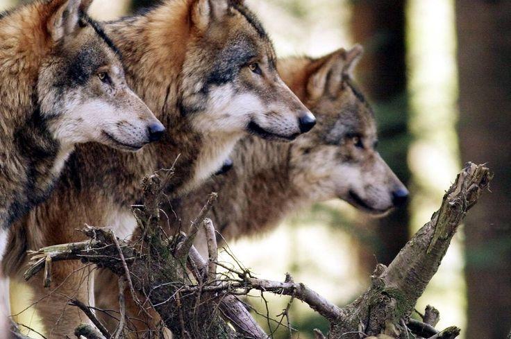 Bild zu Wölfe