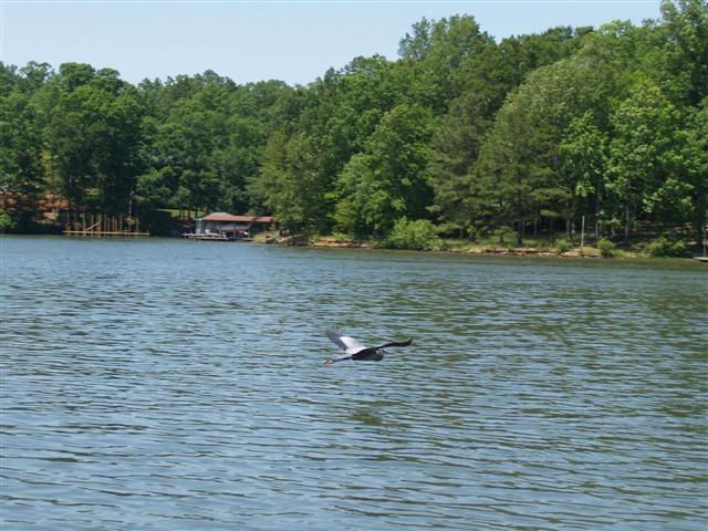 Crane on lake wildlife abounds on lake gaston lake for Lake gaston fishing