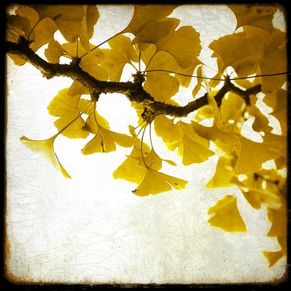 118 best Gingko images on Pinterest | Leaves, Blade and Ceramic art