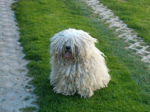 """This article is all about the Hungarian Puli, also known as the """"mop dog."""" Totally adorable and a great guard dog, the Hungarian Puli breed is best for families who live in the countryside."""