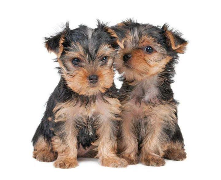 Youre Going To Love These Cute Yorkshire Terrier Images Whether You Own This Breed Or Just Want Some Doggone Pics