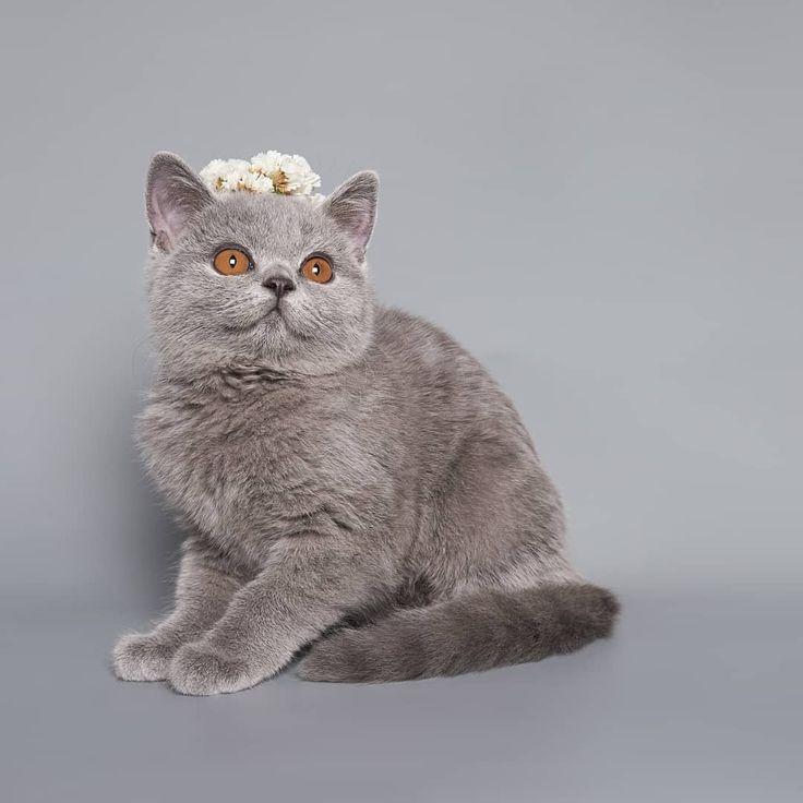 картинки британские кошки все о них желанию красим