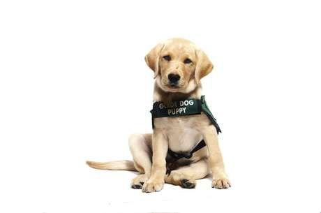 Saiba como é o treinamento de um cão-guia para cegos