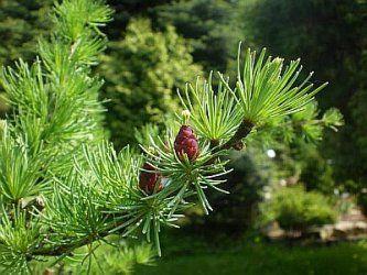 Парфюмерная нота лиственница подробнее /more info:  http://www.imagine-parfum.ru/note_info.php?id=156&main_razdel=aroma_notes