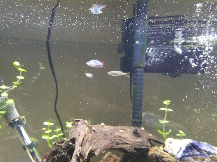 (Left to right) male Chinese Rice Fish, male Dwarf Australian Rainbow Fish, female Dwarf Australian Rainbow Fish.