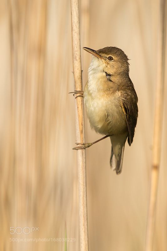 Teichrohrsänger   European Reed Warbler by urszimmermann via http://ift.tt/2b1SwIb