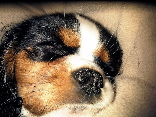 Little Anya sleeping #puppy #goodnight