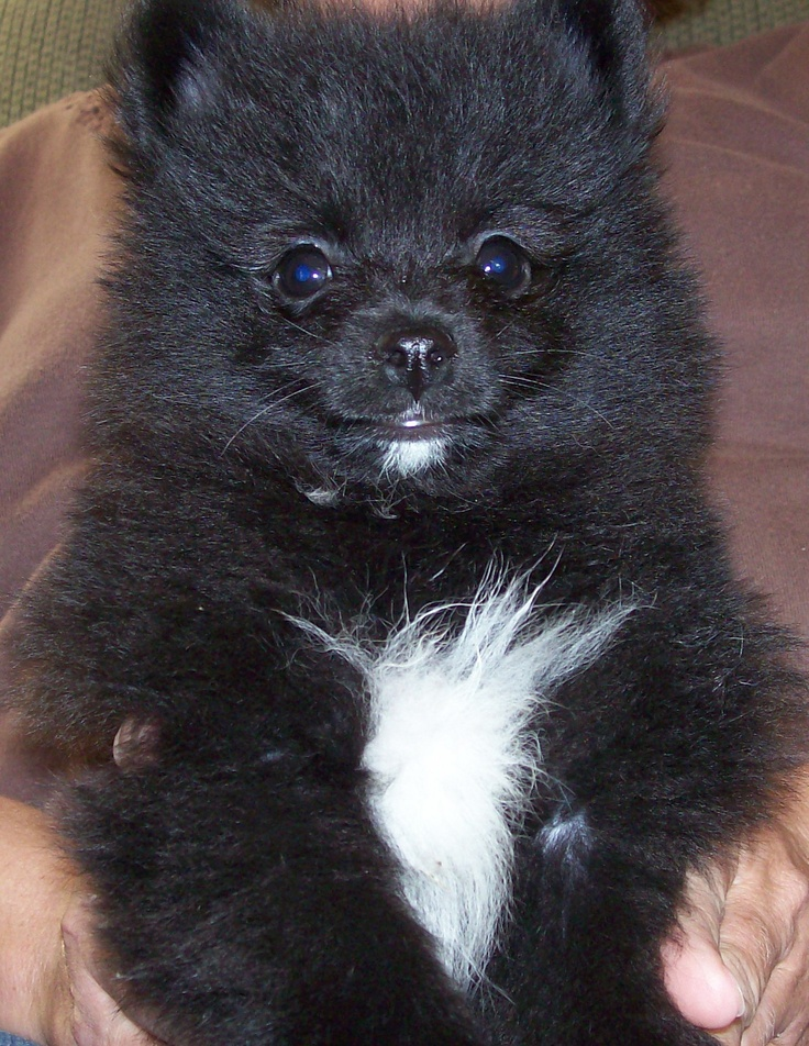 Pictures Of Baby Pomeranians