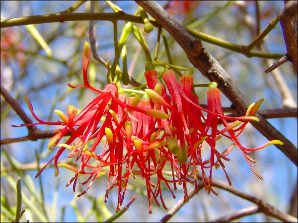 Wire-leaf Mistletoe (Amyema preissii) © Colin Leel, November 2007