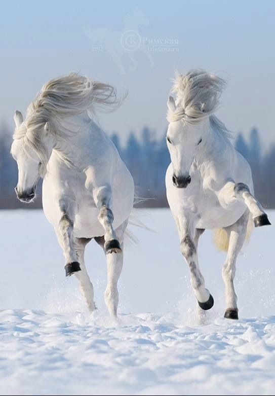White horses. Everything comes in pairs. Marco and Ceila, Widget and Poppet…