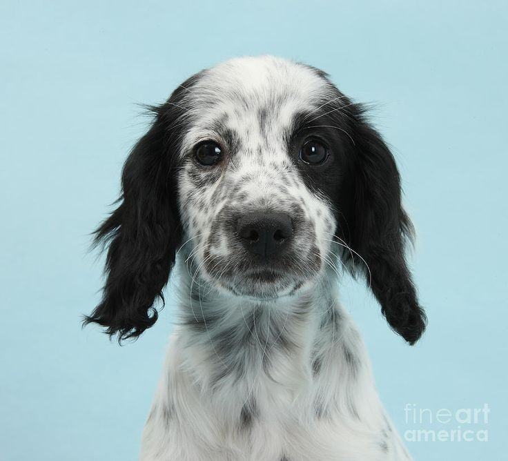 Pictures Of Collie Mixes 65