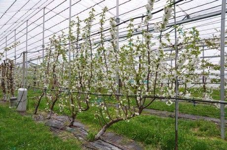 According to the authors of a new study (HortScience, August 2016), high-density tree training systems can help growers make sweet cherry production more efficient and reduce pesticide use......