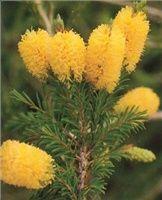 Мелалеука цитрина, Melaleuca citrina