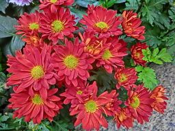 cool temperatures help flowers on chrysanthemum houseplants last longer httpwww