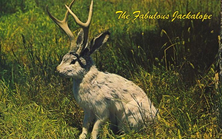 40 Best Jackalope Images On Pinterest Hare Nature