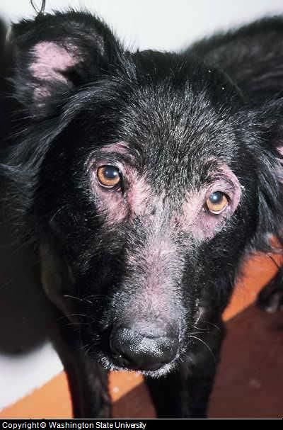Canine skin rash has multiple causes. See pictures and learn about the symptoms, diagnosis and treatment of the many types of dog skin rashes and conditions.