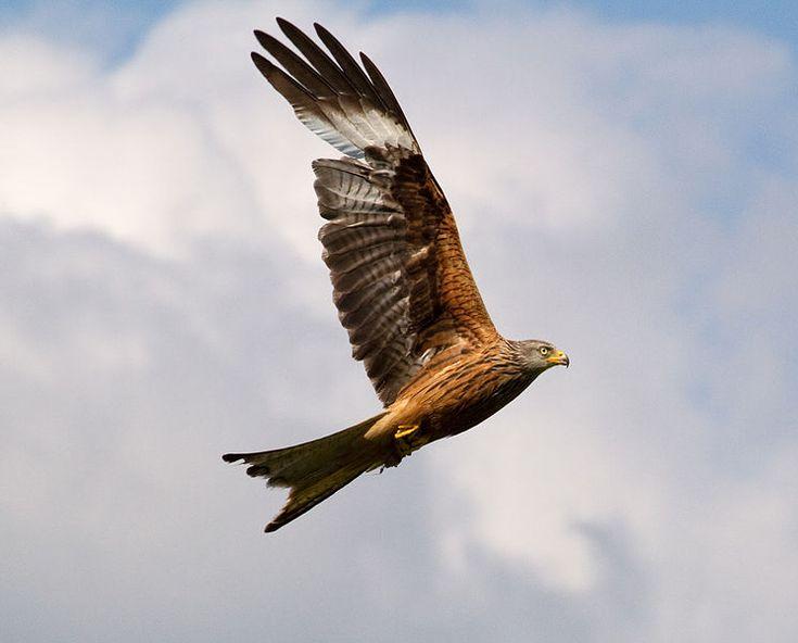 Red Kite http://www.conservation-jobs.co.uk/54633/k-is-for-kite/#