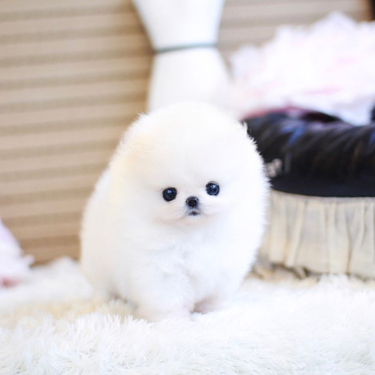 ❤️Pandora ❤️ Extreme micro mini white teddy bear face female Pom for sale.➡️SWIPE FOR MORE PHOTOS 📲TEXT-CALL-WHATSAPP 1(403)891-6028 OR 1-(587)968-6028 🌏www.bettysteacuppuppies.com ✈️We ship world wide✈️ 📧 bettystinyyorkies@hotmail.com @bettysyorkies#Pomeranian #Pomeranianpups #Pomeranianworld #teacuppomeranian #cutepom #Pomeranianloverpost #Pomeranianlover #Pomeraniandog #Pomeranians #teacupPomeranian #Pomeranianforsale #Pomeraniandog #micropom #cutepom #cartier #minipom #smallpom…