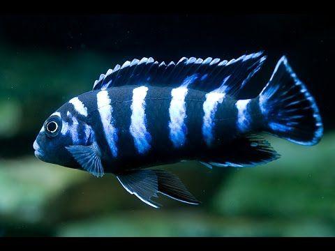 Аквариумная рыбка, Псевдотрофеус демасони Pseudotropheus demasoni