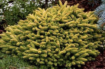 "Klehm's Song Sparrow Farm and Nursery--Woody Plants--Picea orientalis 'Tom Thumb' 8-10"" x 10-12"".  full sun"