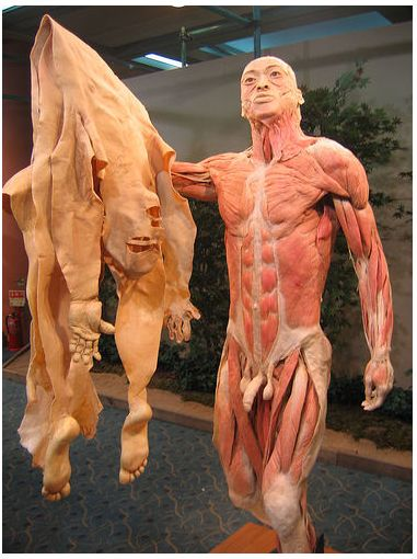 Plastination is a technique or process used in anatomy to preserve bodies or body parts, first developed by Gunther von Hagens in 1977. Water and fat are replaced by certain plastics, yielding specimens that can be touched, do not smell or decay, and even retain most properties of the original sample. If you love medical and anatomy do not miss this Body Worlds exhibit when it comes to your area.