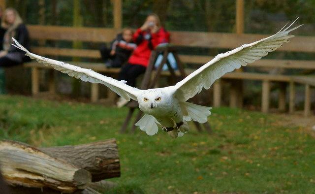 Amazing Snowy Owl facts for kids | Snowy Owl Diet & Habitat