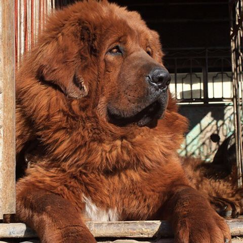 An impressively large dog with noble bearing, the Tibetan Mastiff is an aloof and watchful guardian breed.