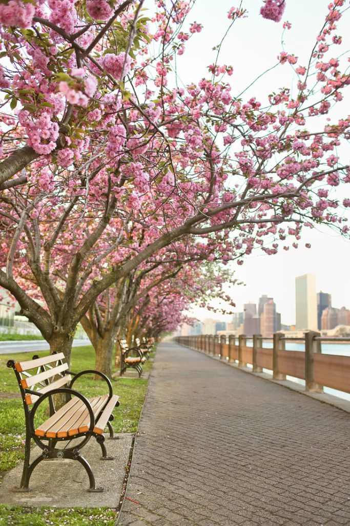 Best Places To See Cherry Blossoms In Nyc Spring In New York Nyc Spring Places To See