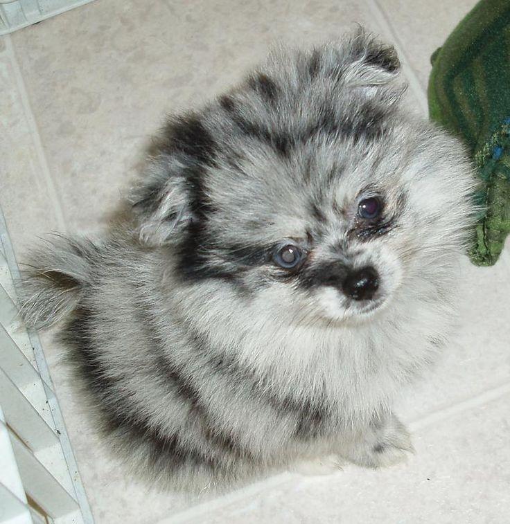 pomeranian/yorkie mix puppies | ... Galleries: Yorkie ...