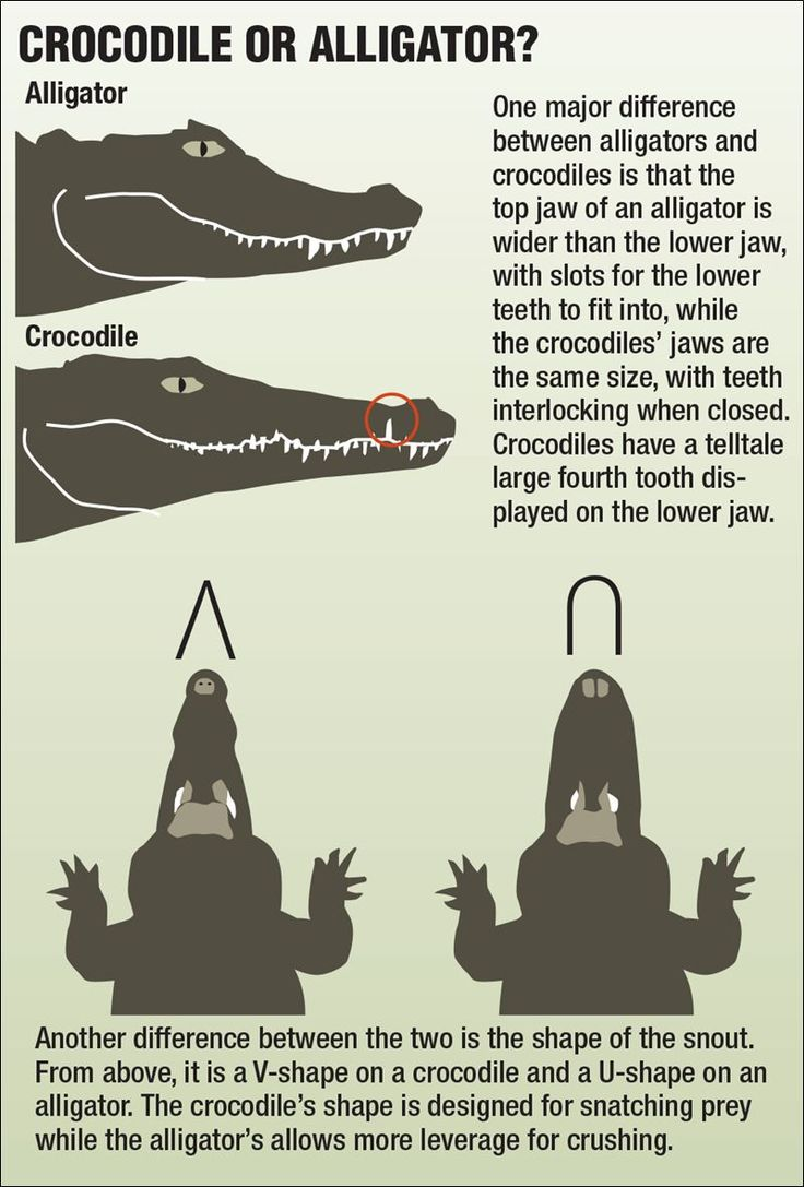 what is the difference between alligators Are you wondering what the real difference between alligator and crocodile leather really is well read on.