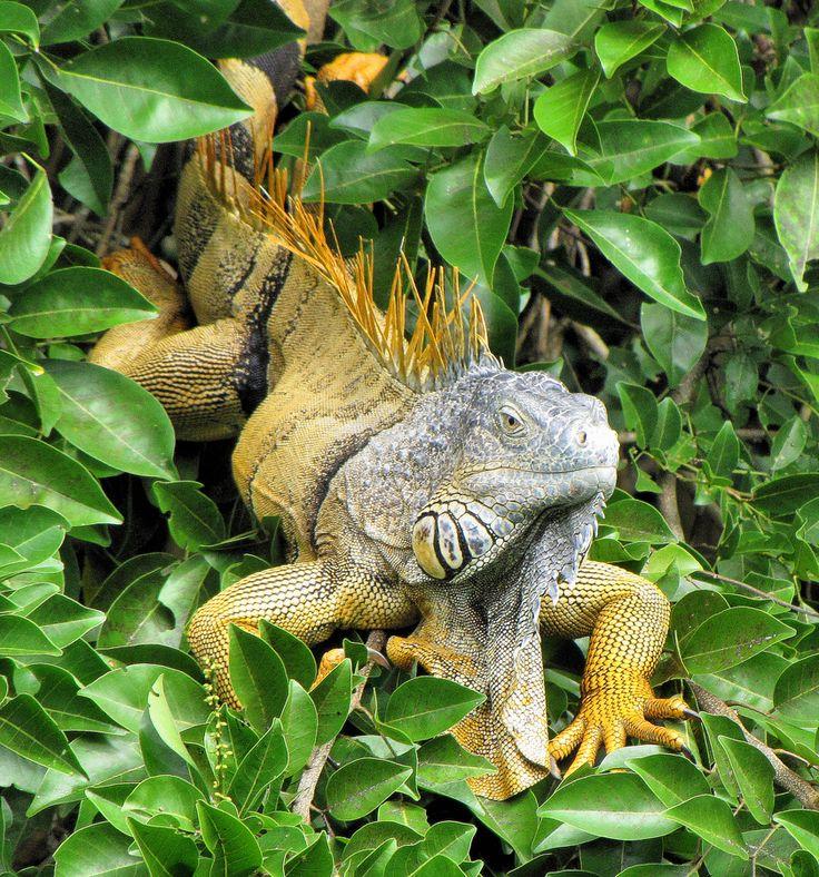 Iguana On Old Belize River
