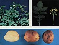 Kennebec potato resists most potato diseases and rot even in cool soil