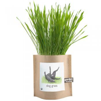 Barley garden grass, a grass that dogs can eat as a treat to stay healthy.