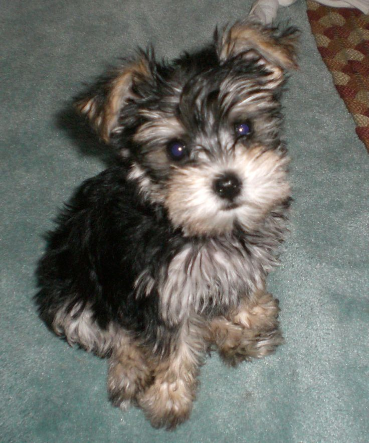 Snorkie puppy Lucy Cute Animals Pinterest Babies