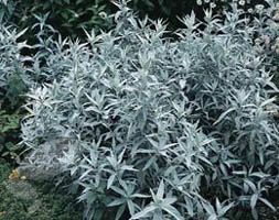 Artemisia ludoviciana 'Silver Queen' I love the contrast of color and texture this gives garden beds. lr