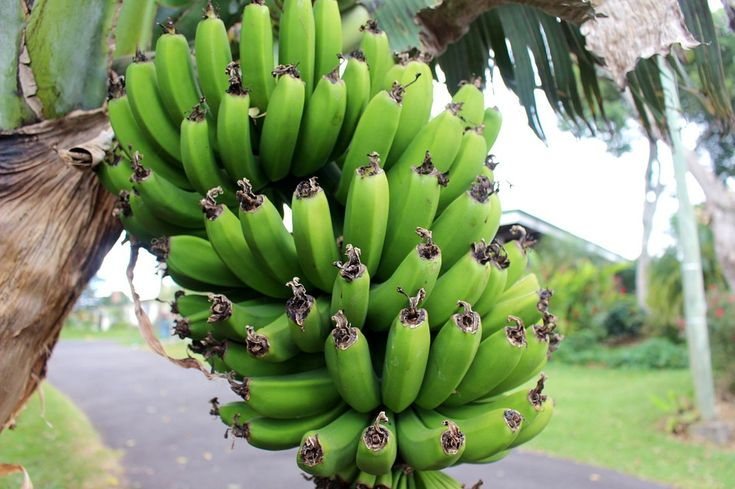 Banány, Rostoucí, Tropický, Zelená, Zemědělství, Strom