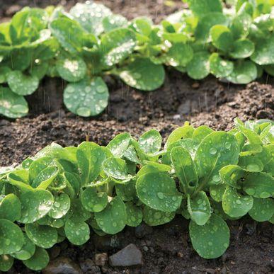 Vit Green Seeds (Valerianella locusta) + FREE Bonus 6 Variety Seed Pack - a $30 Value!