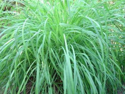 vegetalismus - citronela.jpg