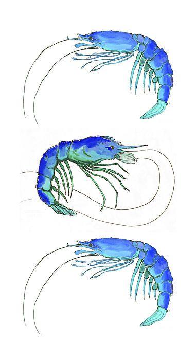 Blue Shrimp Trio by Alexandra Nicole Newton