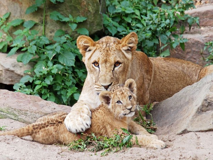 Lions jigsaw puzzle in Puzzle of the Day puzzles on TheJigsawPuzzles.com