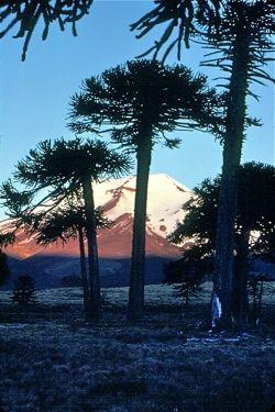 Araucaria de Chile  just SE of Lonquimay Volcano, Malacahuello, Chile