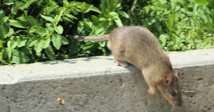Cómo deshacerse de ratas y ratones con amoníaco. Las ratas y los ratones dentro del hogar no solamente son molestos, sino que pueden ser destructivos y hasta poner tu salud en peligro. Tienen enfermedades y generalmente muerden los muebles, la madera y otras cosas. Uno de los métodos para deshacerte de ellos es usar amoníaco. El olor de este elemento es parecido al de la orina de los ...